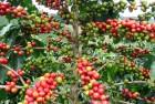 Dünyada Kahve Tarlaları