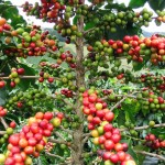 Dünyada Kahve Tarlaları3